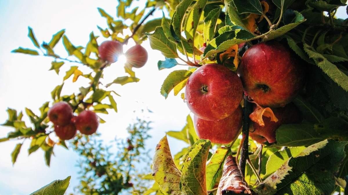 В Польше некому собирать яблоки